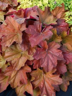 """Heuchera Southern Comfort  Coral Bell, Alum Root    Height: Short 14"""" (22"""" in flower) / Plant 10-18"""" apart  Bloom Time: Early Summer to Late Summer  Sun-Shade: Full Sun to Mostly Shady  Zones: 4-9   Get Your Zone  Soil Condition: Normal, Acidic  Flower Color / Accent: White / White"""