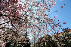#blossom #blue sky #blume #cherry #cherry blossom #city #flowers #garden #park #petals #pink #pink flowers #recal media #romantic #sky #spring #summer #sun #tree