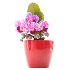A potted orchid is easy to take care of and adds a splash of color to any room. ($10-$20)