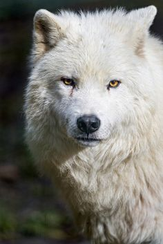 Cute polar wolf portrait by Tambako the Jaguar