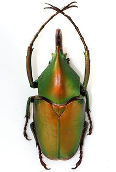 Theodosia Beetle (Viridiaurata Beetles Collection, Sabah, North Borneo, Tropical Insect)