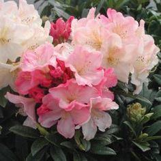 Azalee (Rhododendron) Percy Wiseman
