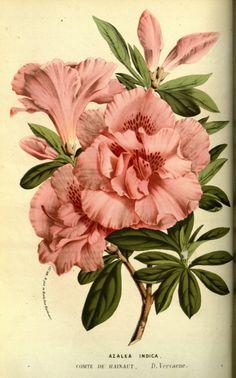Louis van Houtte-Flore des serres v13, 063a