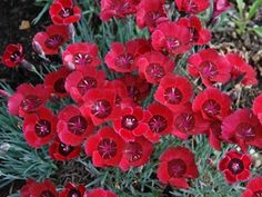Dianthus Eastern Star is not only highly fragrant but also one of the best groundcovers for overall garden performance