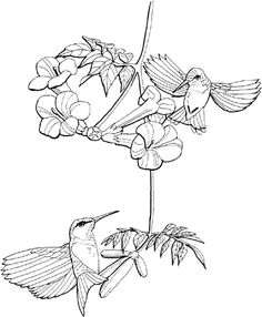 Free Printable Hummingbird Patterns | ... and sports coloring pages humming bird printables printable free