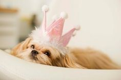 @Jenna Nelson-lin Beugger Princess puppy girly cute animals pink sweet princess dog tiara crown