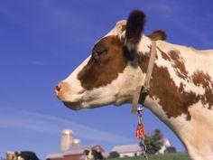 ... cachena cattle cattle breed mammals bovine 49 3 salma essam livestock
