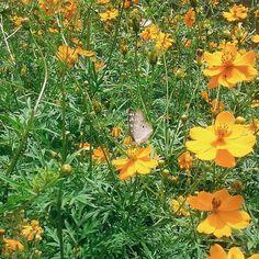 Em dias de sol, esse canteiro de flores perto de casa fica assim, repleto de borboletas. Passo por lá todos os dias e mesmo assim não deixo de achar lindo.  #desafioprimeira (Tarde)