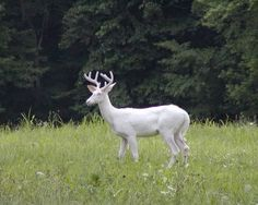 white deer... so pretty <3