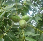 Growing Pecan Trees - Tips and How To Do It