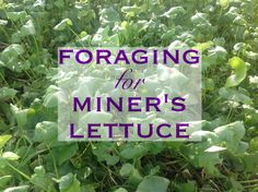 Foraging for Miner's Lettuce - Grow, Forage, Cook, Ferment  #homesteadbloghop