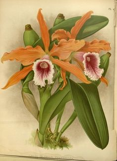 Items similar to Antique Botanical Print Orchid Wall Art Tropical Decor Wall Hanging Housewarming gift orange floral print Giclee Art Print on Etsy Art And Illustration, Botanical Illustration, Illustrations, Arte Floral, Botanical Flowers, Botanical Prints, Orchid Flowers, Orange Orchid, Orange Pink