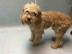 Brooklyn Center SHAGGY – A1023707  NEUTERED MALE, TAN, TIBETAN TERR MIX, 4 yrs OWNER SUR – EVALUATE, HOLD RELEASED Reason NO ANSWER Intake condition EXAM REQ Intake Date 10/15/2016, From NY 11207, DueOut Date 10/15/2016,