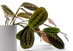 Prayer Plant (Maranta leuconeura) Care Tips | 'Watch for spider mites. Dry indoor air in the winter months encourages these pests to invade house plants, another reason to keep the humidity up' (GtoH) | Non-Toxic for Pets