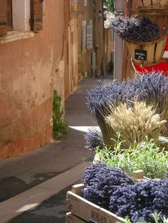Provence. lavender with the barley adn green