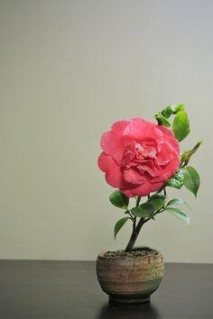 Sashiki tsubaki Varios años después del corte, preguntarse acerca de los últimos cinco o seis años. Que floreció por primera vez.