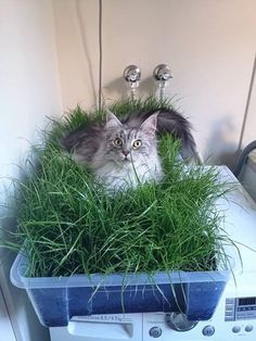 We grew some grass for our (indoor) cat. We think she likes it. - Imgur | good idea for the fosters.