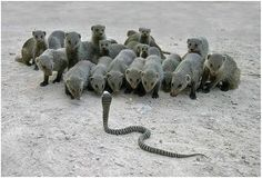 Let's see.  On this hand we have 20 mongoose.  On the other hand we have one King Cobra.  Someone is having a very bad day.