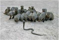 Cobra and Mongoose--