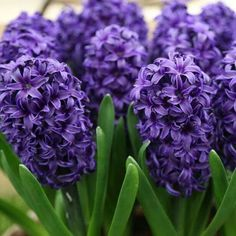 "Hyacinths ~""Memories of my Mother""...""Mary Hyacinth""... ""The Beautiful Flower!"""