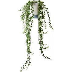 Murgröna långa rankor 12 cm