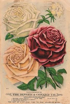 Old Seed Catalog - Roses - The Graphics Fairy