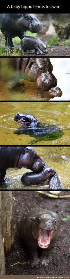 Baby hippo learns how to swim