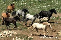 Palomino stallion Cloud leads his mustang band on the Pryor Mountain Range, Montana