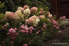 При клике в новом окне откроется оригинал изображения Hydrangea Paniculata, Shrubs, Countryside, Flowers, Plants, Beautiful, Gardening, Hydrangeas, Roses
