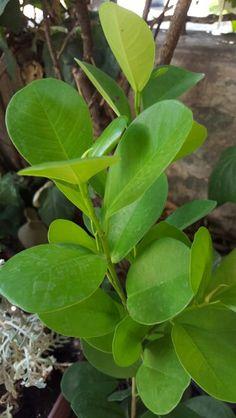 """"""" Ficus Moclame """" Altura: 110 cm Pot tamaño: 21 cm. - Ficus Moclame es un caso especial dentro de la comunidad Ficus. La mayoría Ficus o bien tienen hojas pequeñas, blandas o duras, grandes hojas. Moclame por otro lado, tiene hojas pequeñas al mismo tiempo ser muy firme. Además, las hojas tienen un color verde muy completo y una capa brillante. En resumen, un Ficus única que sabe muy bien cómo transmitir la atmósfera salvaje y puro de la selva. Y el hecho de que este Ficus puede reemplazar…"""