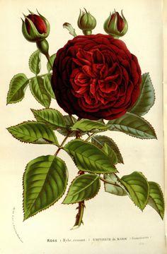 """Rose """"Empereur de Maros"""" (Guinoisseau) """"Flore des serres et des jardins de l'Europe"""", v.15 (1862-65), by Louis van Houtte"""