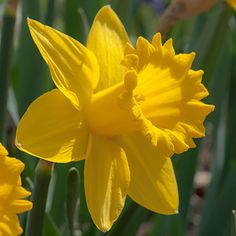 Many daffodils offer a fragrant scent as well as beauty. Check out our fragrant daffodils such as Acropolis, Actaea, Avalanche and more. Daffodil Bulbs, Bulb Flowers, Large Flowers, Daffodils, Narcissus Flower, Daffodil Flower, Yellow Flowers, Spring Flowers, Light Bulb Plant
