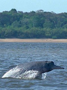 Colombian Amazon Dolphin