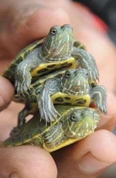 An Indian shopkeeper holds three baby red eared slider turtles in Ahmedabad on October These exotic pets are native to the US,these things are so cute! Baby Red Eared Slider, Red Eared Slider Turtle, Super Cute Animals, Cute Baby Animals, Animals And Pets, Cute Creatures, Beautiful Creatures, Animals Beautiful, Cute Turtles