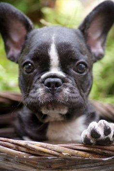 """What a sweetie that looks just like Eli...  See my Pinterest Board """"Boston Terriers My Pack"""""""