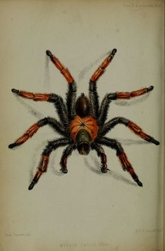 Big Spider: Weird, strange, creepy and interesting images from BHL!