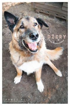 Dżery pies do adopcji ze Schroniska w Koninie
