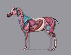 Horse anatomy chart from the end of 2014. I spent a number of hours on this and received some very helpful feedback from Joe Weatherly.