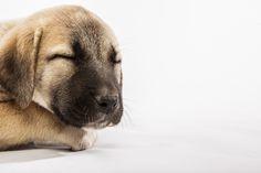 Anatolian Shepherd pup Mans Best Friend, Girls Best Friend, Best Friends, Anatolian Shepherd, Shepherd Dog, Animal Photography, Labrador Retriever, Beautiful Pictures, Puppies
