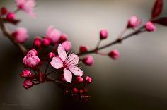 sakura flower - Pesquisa Google