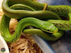 Green Bush Rat Snake Gonyosoma Prasinum Gonyosomaprasinum