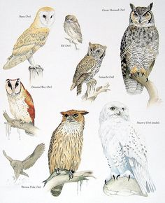 Rescued from a much loved and read reference book on animals is this vintage 1984 book plate featuring the following birds: Barn Owl, Elf Owl,