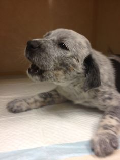 I just want to kiss it! Blue Heeler puppy aww half of biscuit! Baby Puppies, Cute Puppies, Dogs And Puppies, Baby Animals, Funny Animals, Cute Animals, Charles Darwin, Pet Dogs, Dog Cat