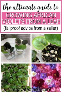 This step by step tutorial will show you how to start African violets from a leaf the EASY way. It shows how to separate African violet babies and the right way to plant them. This is my go-to method of how to multiply African violets. I also show the right humidity, LED lighting, watering and what to do with an African violet broken stem. This works on any hybrid and lists supplies including pots, fertilizer and soil. Flowering House Plants, House Plants Decor, Flowering Shrubs, Plant Decor, Hanging Plants, Indoor Plants, Potted Plants, Diy Décoration, Easy Diy