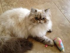 Tortie Lynx Point Himalayan Cat.