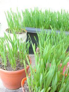 Como plantar grama de trigo na terra (gatos)