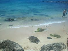 Laniakea (Turtle) Beach in Hale'iwa, HI (mornings are optimal time)- Properly known as Laniakea Beach, Turtle Beach is a popular surf spot that sea turtles love. They come close to shore to feed on seaweed and sometimes lay their eggs on the same beaches year after year.