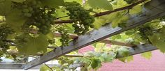 5 Designs for Growing Food Vertically - The Permaculture Research Institute Permaculture Design, Permaculture Garden, Sandy Soil, Ways To Recycle, Growing Grapes, Open Up, Sustainable Living, Outdoor Fun, Herb Garden