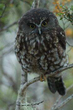 Morepork Kahurangi National Park, New Zealand by Corey Mosen Love Birds, Beautiful Birds, Birds Online, Maori Art, Bird Tree, Forest Park, Baby Art, Fantasy Jewelry, Birds Of Prey