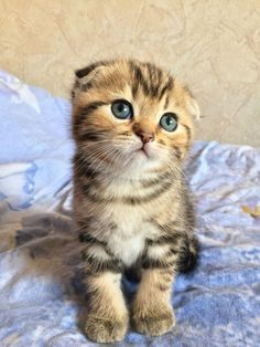 The Affable, Owl-Like Scottish Fold Cat